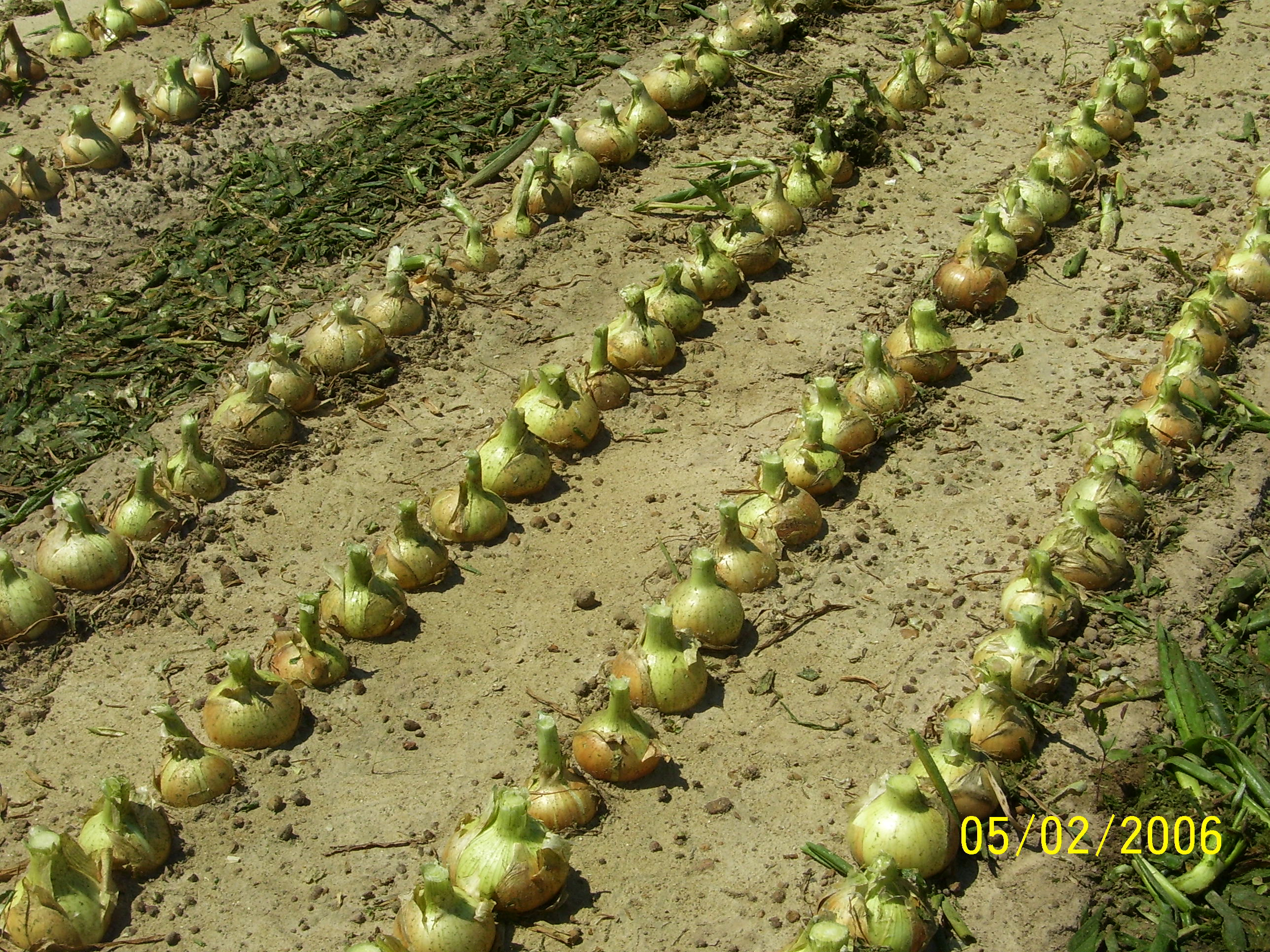 Onion Field Topper